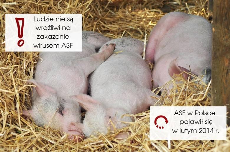 Objawy ASF u świń. Jak rozpoznać, że wirus afrykańskiego pomoru świń dotarł do chlewni?