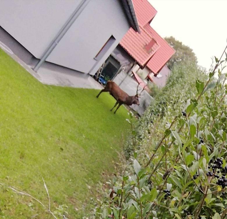 Na jednej z dzielnic Szczecinka jeleń wtargnął na prywatną posesję. Na miejsce przyjechał weterynarz, który próbował uśpić zwierzę. Niestety potężne