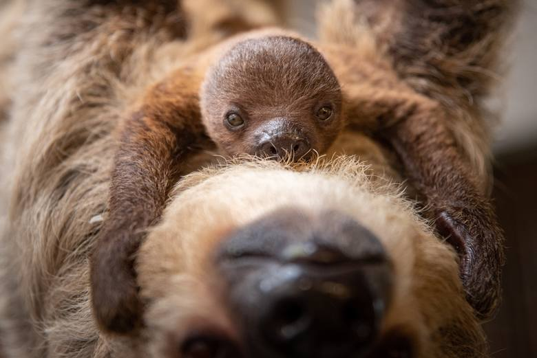 Młody leniwiec we Wrocławiu mieszka w małpiarni