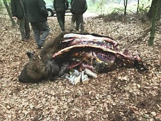 Zastrzelił żubra, bo myślał, że to dzik. Dziś po południu mężczyzna usłyszał zarzut [DRASTYCZNE ZDJĘCIA]