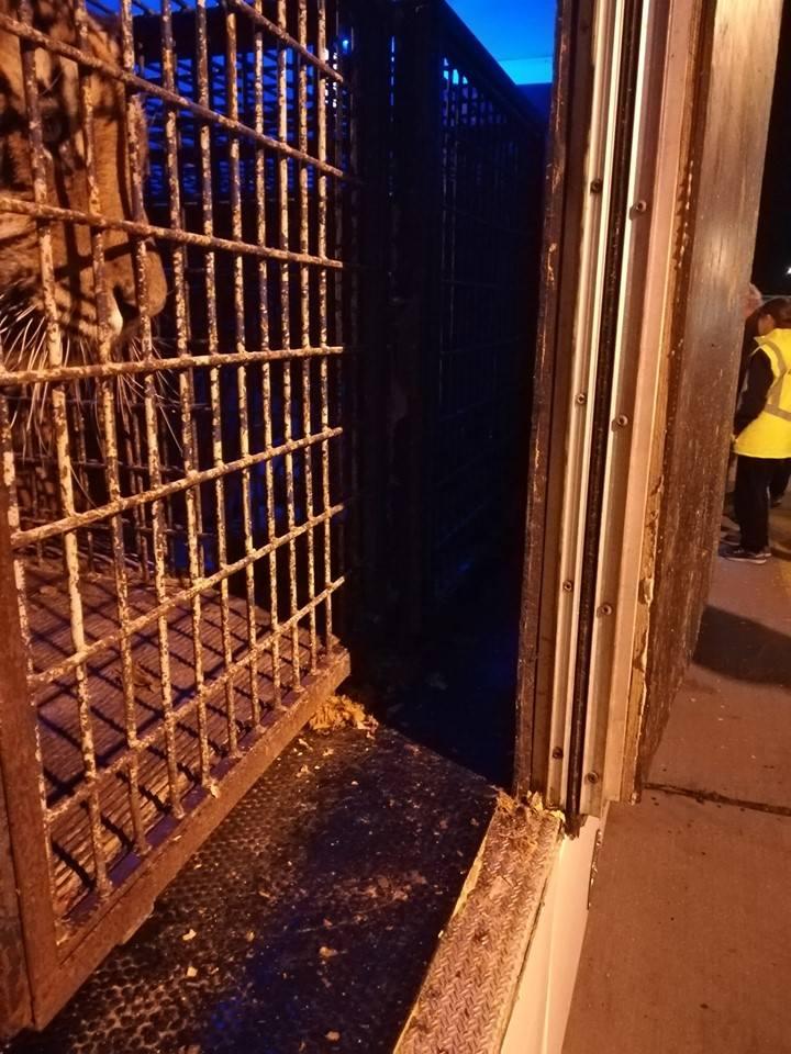 Drapieżniki ponad tydzień temu wyjechał z Włoch. Docelowo miały trafić na teren Rosji, do jednego z cyrków w republice Dagestanu. Jednak urzędnicy celni z Białorusi odmówili wjazdu tych zwierząt na teren ich kraju.