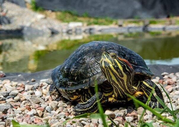 Żółw żółtobrzuchy odłowiony z Raduni! Skąd się tam wziął?