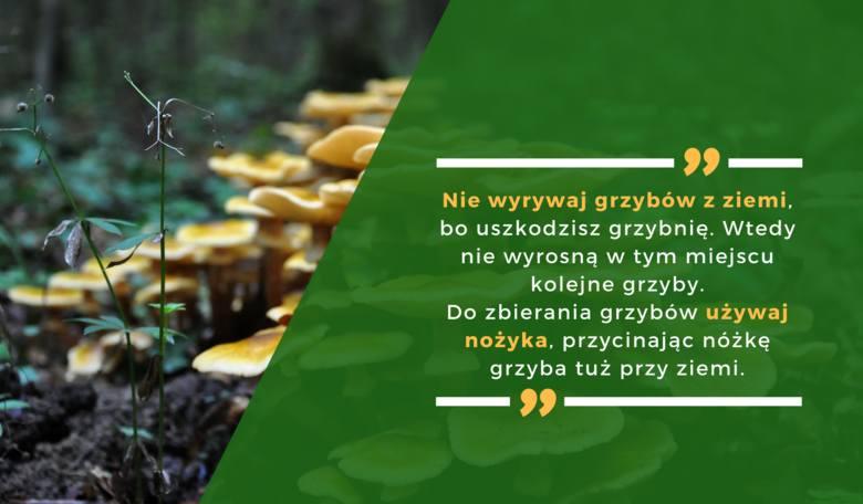 Nie wyrywaj grzybów z ziemi, bo uszkodzisz grzybnię. Wtedy nie wyrosną w tym miejscu kolejne grzyby. Do zbierania grzybów używaj nożyka, przycinając