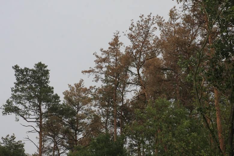 Kornik ostrozębny atakuje drzewa od koron. Leśnicy wskazują, że nie ma możliwości stosowania oprysków. Stosują pułapki feromonowe i odławiają owady.