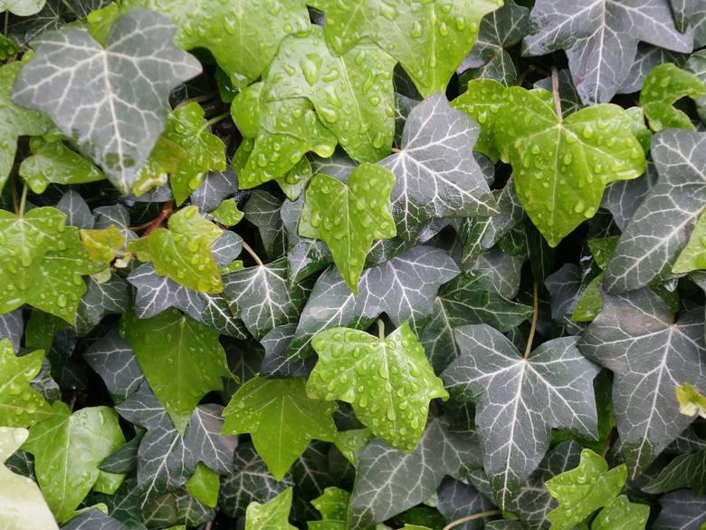 Bluszcz pospolity jest pnączem, ale jego pędy mogę też płożyć się po ziemi, więc można go wykorzystać jako roślinę okrywową. Bluszcze mają piękne, ciemnozielone