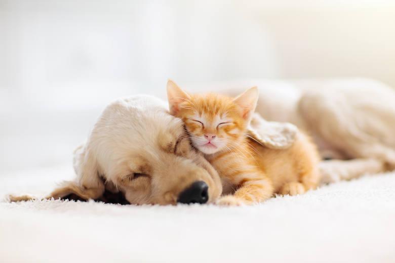 rasy psów, które lubią koty rasy psów przyjazne dla kotów