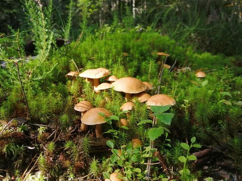 Wysyp prawdziwków już za nami, ale wciąż warto się wybrać na grzyby. Można znaleźć trzy smaczne gatunki. Jak przekonują specjaliści, jest szansa  napełnić