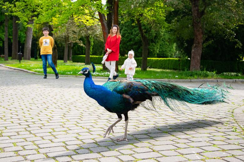 Zamek w Baranowie Sandomierskim znów ożył. Piękny park, pawie, porcelana i oferta dla turystów [WIDEO, ZDJĘCIA]