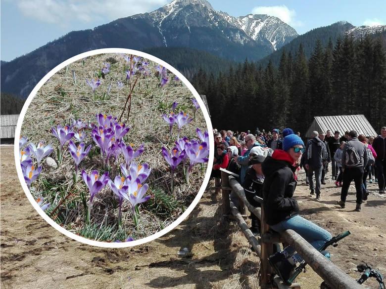 Krokusy w Tatrach. Turyści oblegają Dolinę Chochołowską [ZDJĘCIA]
