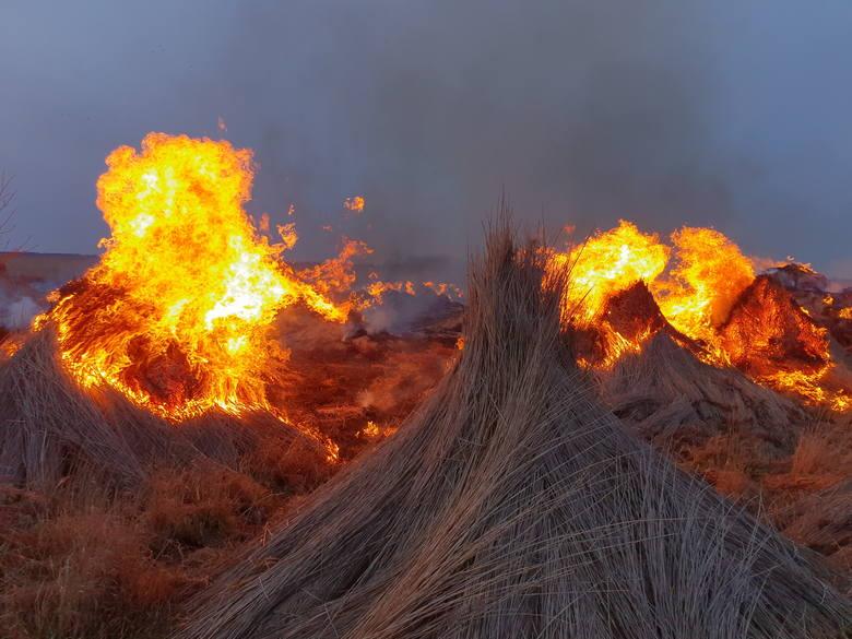 6 zastępów Państwowej i Ochotniczej Straży Pożarnej gasiło pożar trzcinowiska w miejscowości Glęźnowo (gmina Darłowo). - W wyniku pożaru spaleniu uległo