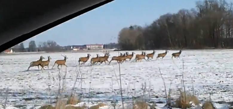 Jak napisał nasz czytelnik Michał, który jest autorem filmiku: chmara jeleni przecięła drogę, prawdopodobnie wystraszona przez zbieraczy zrzutów poroży.