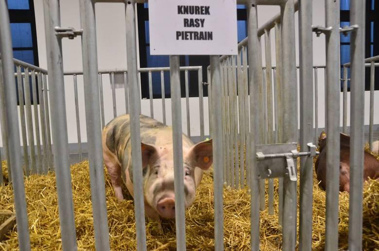 Krajowa Wystawa Zwierząt Hodowlanych: Zwierzaki rządzą na MTP. Zobacz zdjęcia