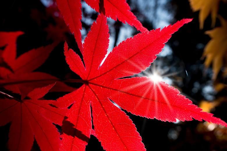 Jesienią liście drzew, krzewów i pnączy malowniczo przebarwiają się. Często to zjawisko obserwujemy z zachwytem, rzadko zastanawiając się nad przyczyną.