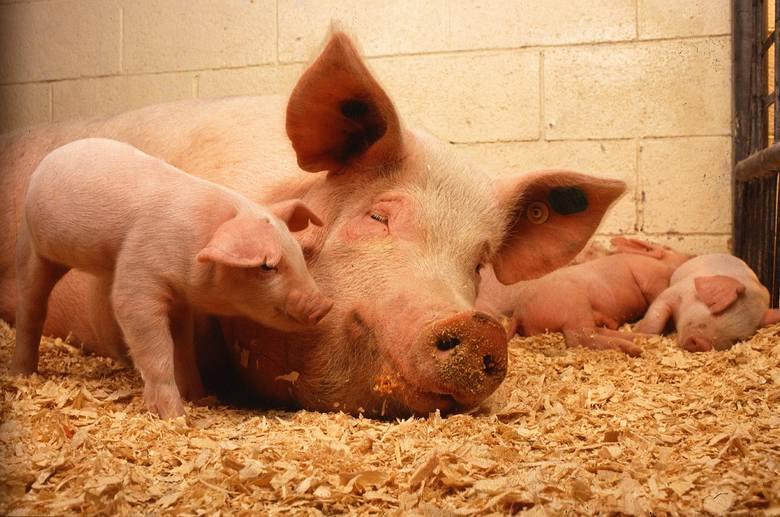 Ile dni wypasu krów i ile miejsca dla świń? Wymogi podwyższonego dobrostanu, czyli
