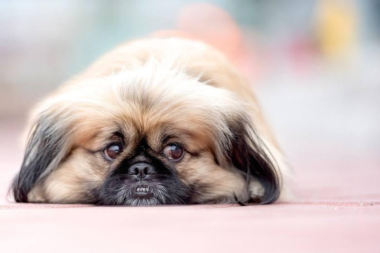 7. PEKIŃCZYKPekińczyki dotarły do Polski w latach XX ubiegłego wieku. Psy należące do tej rasy lubią spokój i są nieufne wobec obcych. Mimo aparycji,