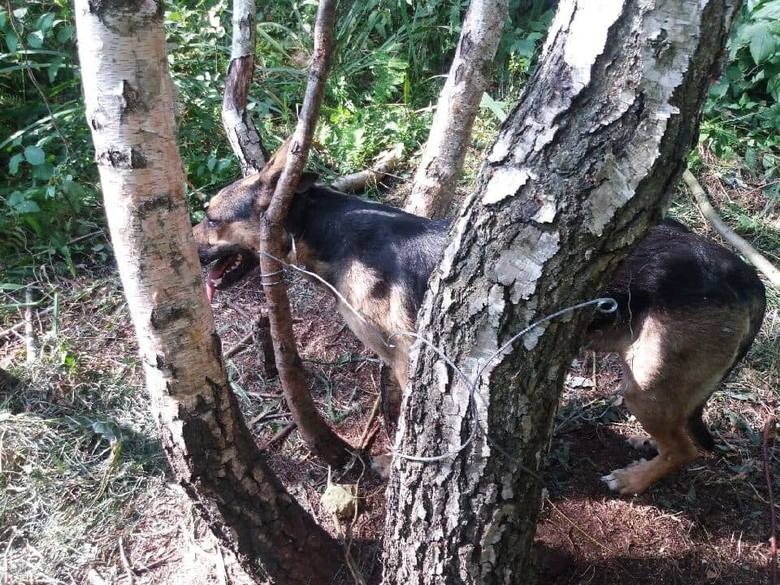 Lola, pies który został przywiązany do drzewa w lesie stalową linką, szuka domu. - To pies anioł - piszą o nim przedstawiciele fundacji. Policja w Wągrowcu