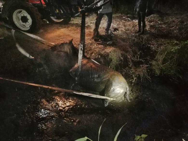 Strażacy ze Strzelec Krajeńskich sami przyznają, że to była nietypowa akcja. W nocy zostali wezwani do ratowania konia. Zwierzę utknęło w grzęzawisku.