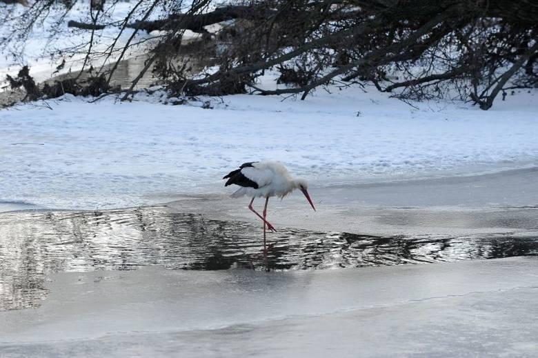 Ul. Marczukowska. Bociany już są, a śnieg leży (zdjęcia)