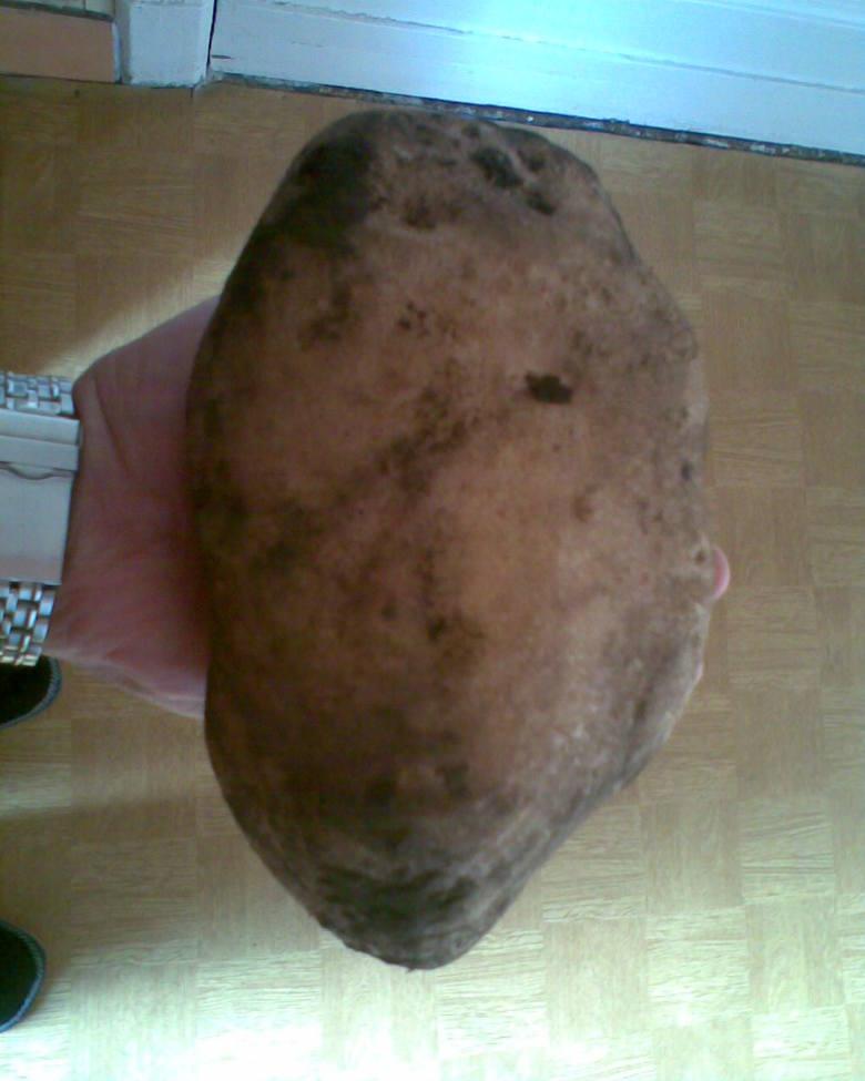 Grzegorz Karczmarz z Gorzowa Wlkp. wyhodowal ziemniaka, który wazyl 1,1 kg, mial 20 cm dlugości i 12 cm , szerokości.