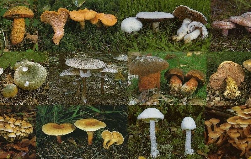 Jak odróżnić grzyby jadalne od trujących