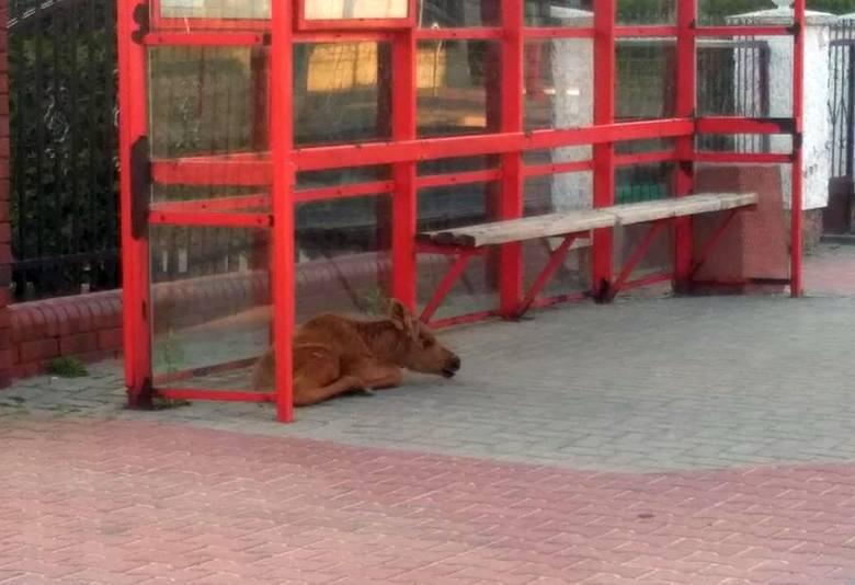 To już coraz częstszy widok na ulicach Białegostoku. Dzikie zwierzęta tracą orientację i pojawiają się na ulicach.To zdjęcie zostało wykonane przez internautę