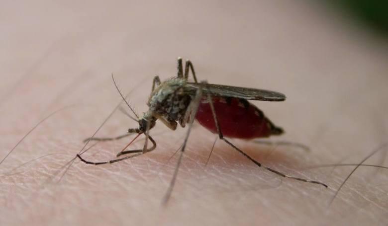 Międzymiastowy sztab walczy z plagą komarów nad morzem