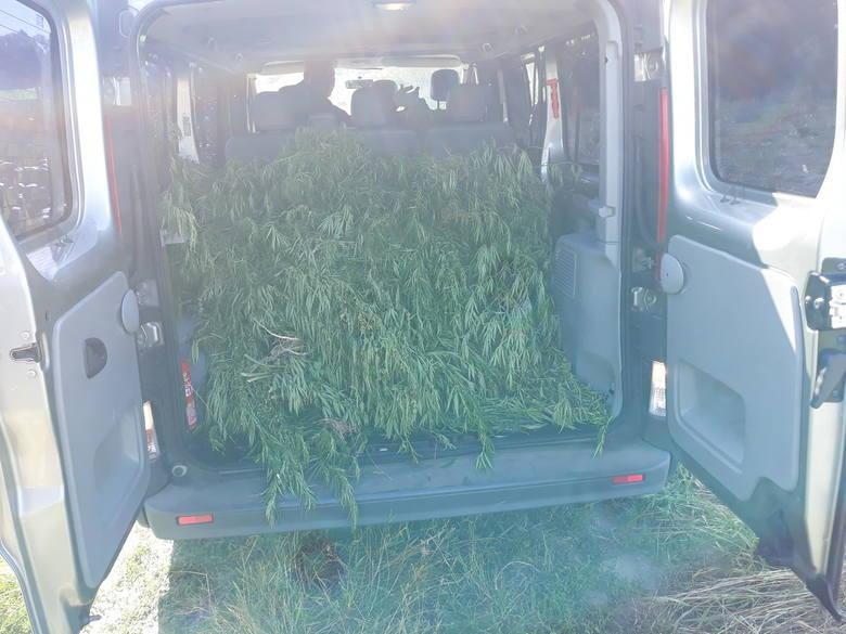 Policjanci z Aleksandrowa nad Wisłą ujawnili plantację marihuany. W wyniku działań funkcjonariuszy zatrzymano dwoje mężczyzn odpowiedzialnych za jej