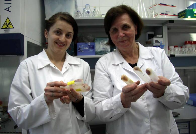 Dr Agnieszka Kuźniar i prof. Zofia Stępniewska pokazują bakterie, które wytwarzają ektoinę