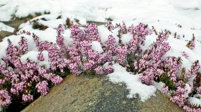 Wydawałoby się, że zimą w ogrodach nie możemy podziwiać żadnych kwiatów. Ale to nieprawda. Są rośliny, które nie dość, że pięknie kwitną, to również