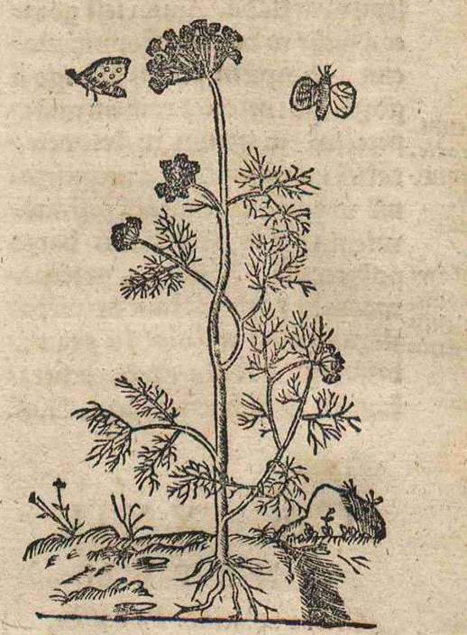 Rysunek przedstawiający anyż.