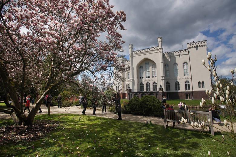 Arboretum w Kórniku słynie ze swoich 170-letnich, pięknych magnolii. Zwykle kwitną one jeszcze w kwietniu, jednak w tym roku ze względu na chłodną wiosnę