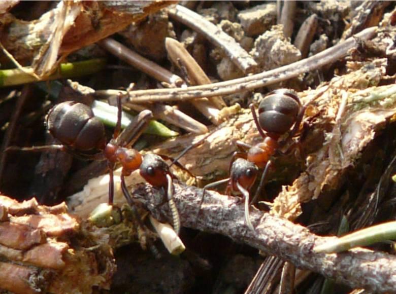 Naukowcy odkryli w Polsce mrówki kanibale. Drapieżne i okrutne owady nikomu nie przepuszczą
