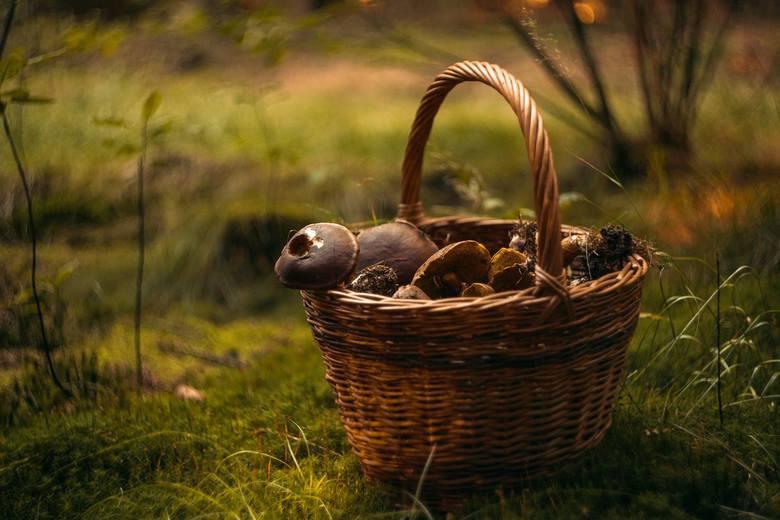 Początek września, opady deszczu i wciąż jeszcze ciepłe noce. To wszystko oznacza, że już niedługo w polskich lasach pojawią się grzyby i na dobre rozpocznie