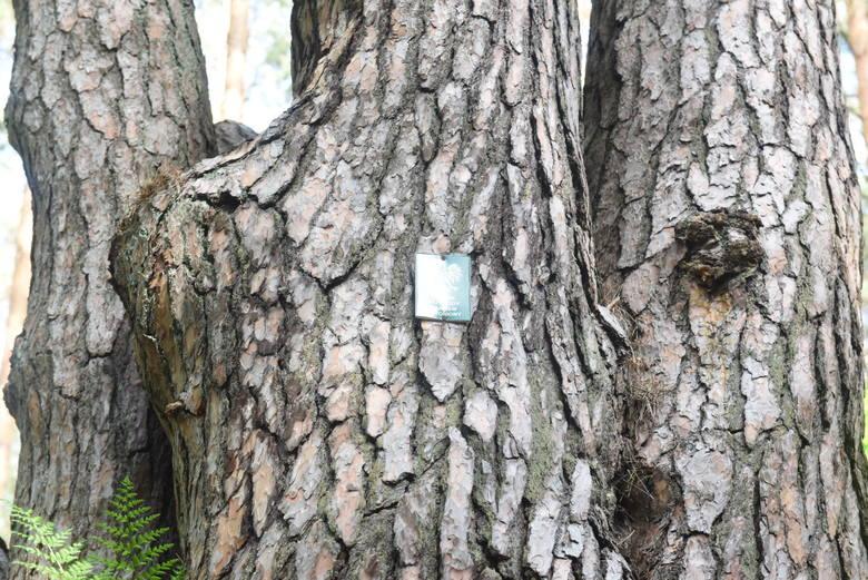 Pomnik przyrody - sosna zwyczajna Waligóra, licząca 170 lat.