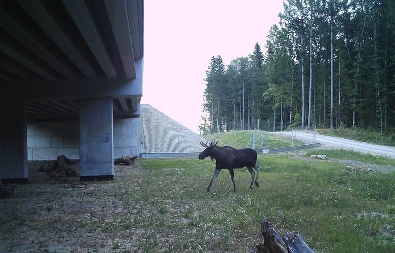 Tak zwierzęta pokonują autostradę. Co widzą kamery na przejściach dla zwierząt? Zobacz zdjęcia