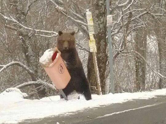 Zobacz jak niedźwiedź przechodzi z gracją przez siatkę. Film opublikowało Nadleśnictwo Cisna