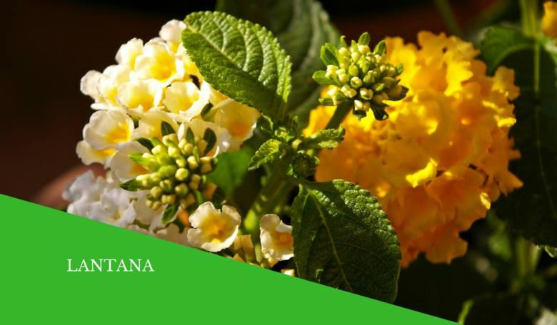 Lantany mają atrakcyjne kwiaty, które zmieniają kolor podczas kwitnienia. Wymagają dość regularnego podlewania. Można je przezimować w pomieszczeniu