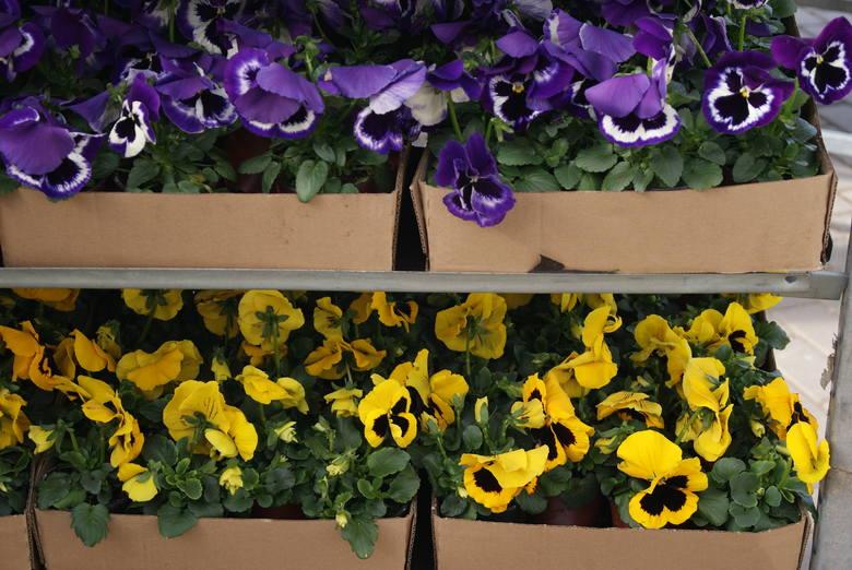 Bratek ogrodowy - do donicy sadzimy ukorzeniony kwiatek ( w sklepach można nabyć rozsadę bratka). Posadzony o tej porze roku bratek, będzie kwitł aż