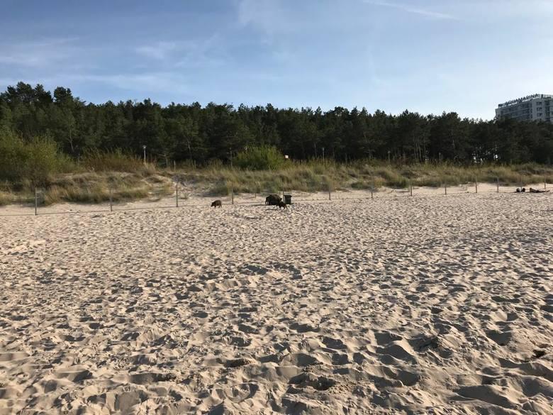 Zamieszanie na plaży w Międzyzdrojach. Pojawiły się dziki