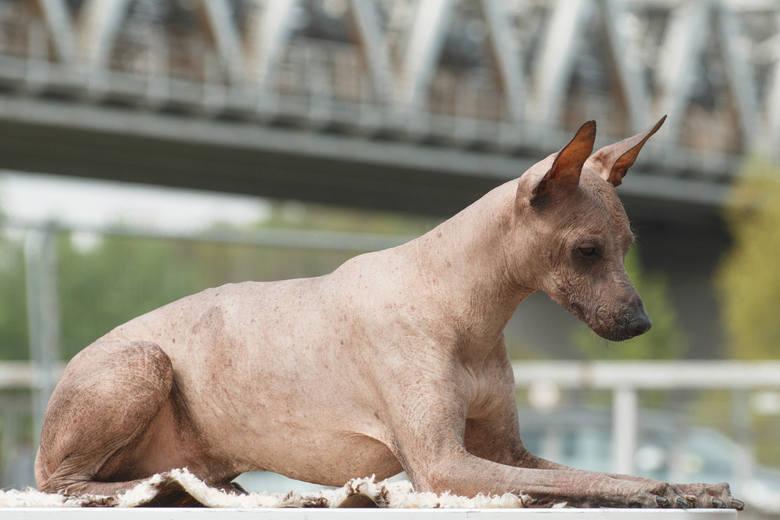 Jeśli chcesz mieć psa, który nie linieje, najlepiej wybrać rasę, która nie ma sierści. Taki właśnie jest nagi pies peruwiański, zwany też nagim peruwiańczykiem