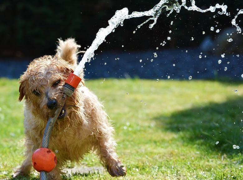 """NIE """"PODLEWAĆ"""" ZWIERZĄT, ALE TYLKO JE… DELIKATNIE SPRYSKIWAĆ!Uwaga, nie schładzajmy zwierzęcia wodą, bo zrobimy mu tylko w ten sposób krzywdę.Gdy jest"""