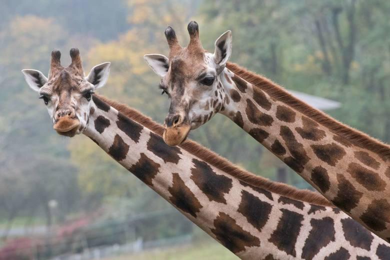 Trzy dorosłe i jeden półtoraroczny samiec żyrafy do tej pory przebywały na wybiegu niedostosowanym do ich potrzeb biologicznych. <br /> <strong>Przejdź do kolejnego zdjęcia ---></strong><br />
