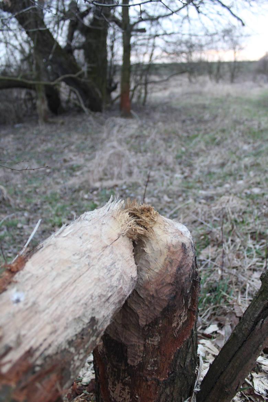 Drzewa podgryzione przez bobry niedaleko kamionki Bolko.