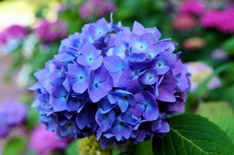 Hortensje ogrodowe (Hydrangea macrophylla) do niedawna były najbardziej popularnym gatunkiem. Mają kuliste lub lekko spłaszczone kwiatostany w różnych