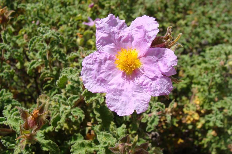 Czystek kreteński (Cistus creticus) w czasie kwitnienia