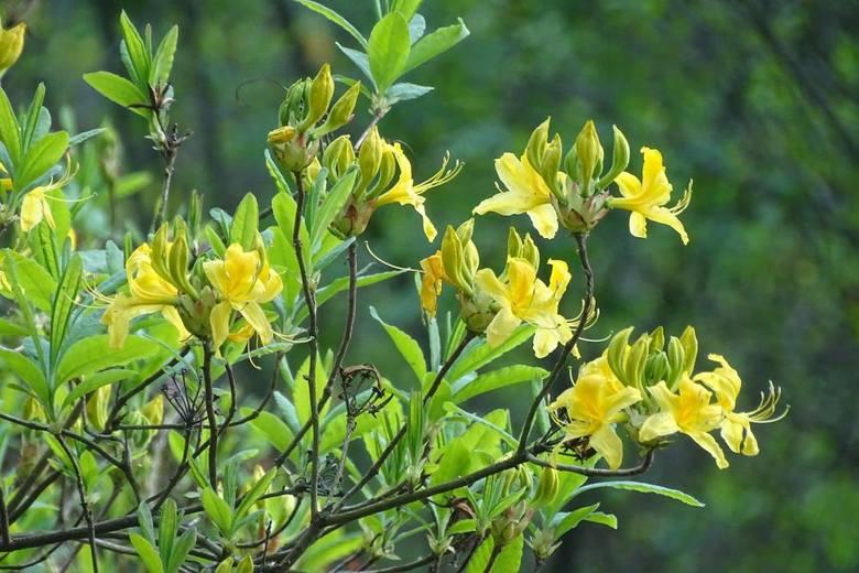 Azalia pontyjska kwitnie w rezerwacie Kołacznia w Woli Zarczyckiej koło Leżajska