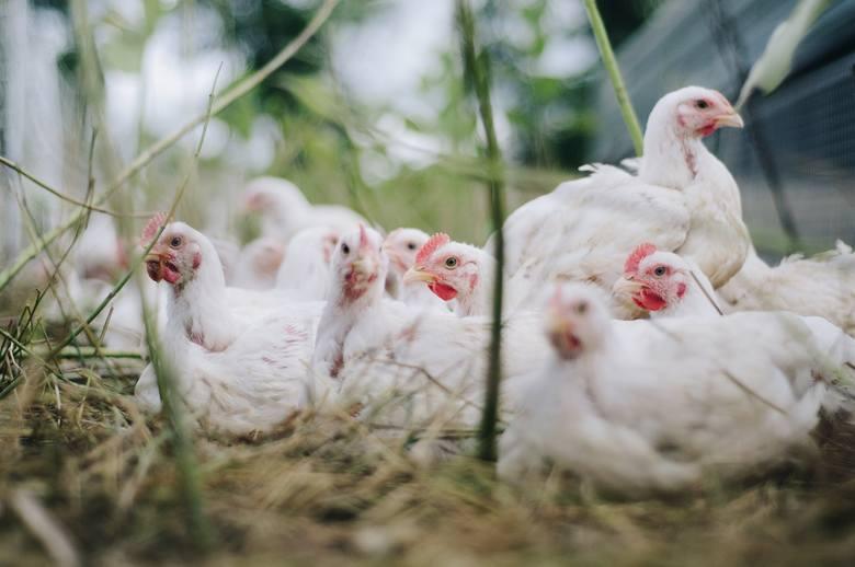 Kurczak wiejski - taką nazwą producenci i sprzedający drób starają się przekonać konsumentów, że kurczak urósł na sielskiej wsi, żył w zgodzie z naturą