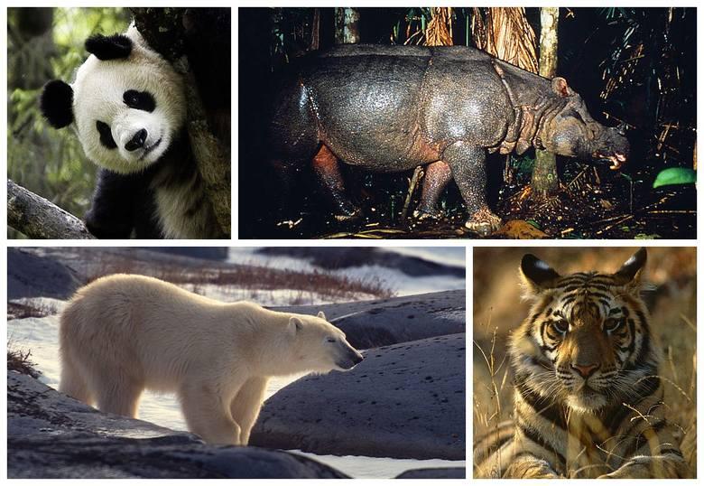 Organizacja proekologiczna WWF bije na alarm. Ludzkość ma ostatnią szansę na uratowanie wielu gatunków zwierząt. Prezentowane w tej galerii gatunki stoją