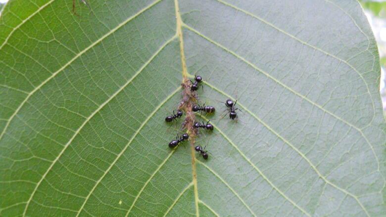 Mrówki na drzewach często pojawiają się za mszycami, chronią je przed naturalnymi wrogami i żywią ich słodkimi odchodami będącymi wręcz przysmakiem.