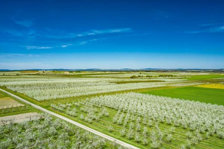 Gmina Szydłów wygląda bajkowo - kwitną tutejsze sady śliwkowe [ZDJECIA Z DRONA]